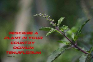 Describe a plant in your country Speaking Tulsi